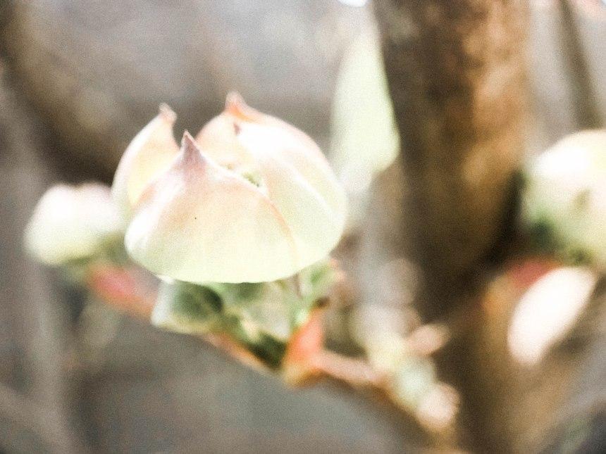 dogwood blossoming